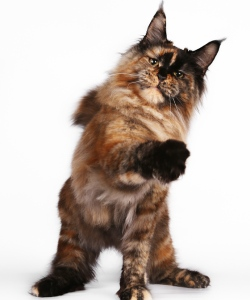maine coon best in show and best of best I