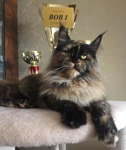 Cat Show Maine coon Best of Best (BOB I)