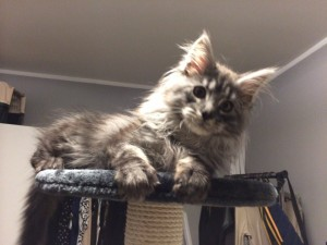 Maine Coon Abigale 1