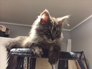 Maine Coon Abigale 2