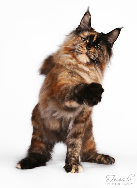 best maine coon