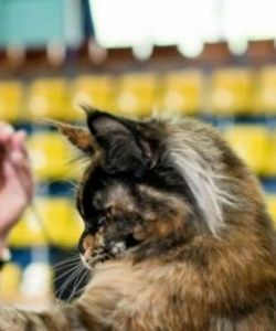 maine-coon-best-in-show-and-best-of-best-I-double master